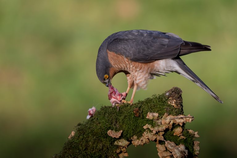 Sparrowhawk and Kill