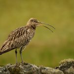 Curlew Calling On Drystone Wall