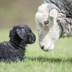 Ewe Born Baby