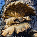 Pleurotus Osteatus (Oyster Mushroom)