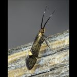 Micro-moth (Esperia sulphurella)