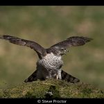 Sparrowhawk Aggression